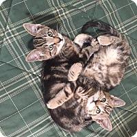 Domestic Shorthair Kitten for adoption in Chino Hills, California - Bert - Claremont