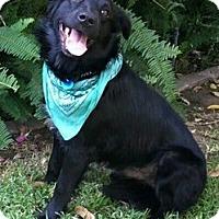 Australian Shepherd/Labrador Retriever Mix Dog for adoption in Studio City, California - Jack