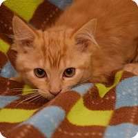 Domestic Shorthair Kitten for adoption in Flushing, Michigan - Mindy