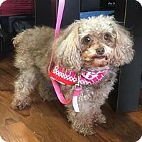Adopt A Pet :: Spice - Adoption Pending - Centreville, VA