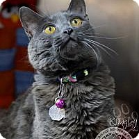 Adopt A Pet :: Syd Whiskers - Salt Lake City, UT
