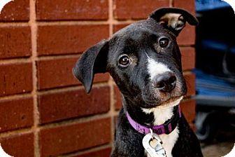 Labrador Retriever/Border Collie Mix Puppy for adoption in Atlanta, Georgia - Mackenzie