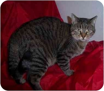 Domestic Shorthair Cat for adoption in Lake Charles, Louisiana - Willow