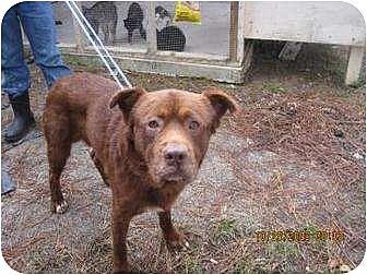 chow chow labrador retriever mix dog for adoption in raeford north