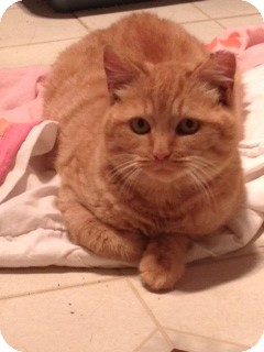 Domestic Shorthair Cat for adoption in N. Billerica, Massachusetts - Harold