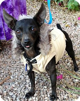Miniature Pinscher/Chihuahua Mix Dog for adoption in Phoenix, Arizona - Wally