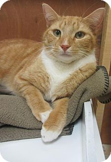 Domestic Shorthair Cat for adoption in Mobile, Alabama - Elvis