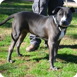American Pit Bull Terrier Mix Dog for adoption in Athens, Georgia - Angel