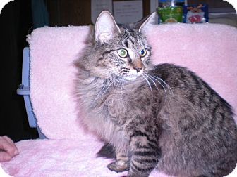 "Maine Coon Cat for adoption in New Castle, Pennsylvania - "" Sabrina """