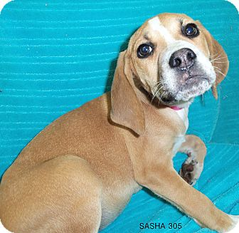 Hound (Unknown Type) Mix Puppy for adoption in Waldorf, Maryland - Sasha #305