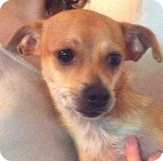 Chihuahua/Dachshund Mix Puppy for adoption in Orlando, Florida - Floyd