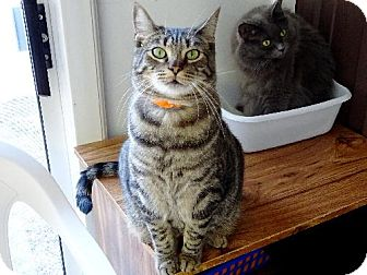 Domestic Shorthair Cat for adoption in Belleville, Michigan - Frito
