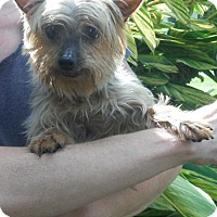 Adopt A Pet :: YORKIE GIRLS NEED YOU - Alpharetta, GA
