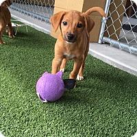 Adopt A Pet :: Felix - Nashville, TN