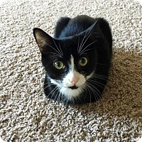 Domestic Shorthair Kitten for adoption in Greensboro, North Carolina - Tux