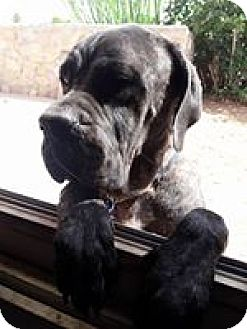 Mastiff Mix Dog for adoption in El Paso, Texas - Sugar