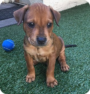 Labrador Retriever Mix Puppy for adoption in Ft. Lauderdale, Florida - Reed