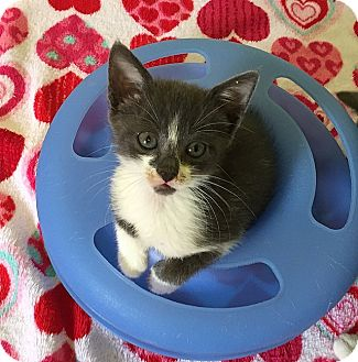 Domestic Shorthair Kitten for adoption in Tampa, Florida - Bristol