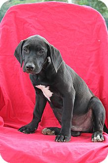 Mastiff/Labrador Retriever Mix Puppy for adoption in Albany, New York - Louie (has been adopted)