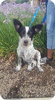 Australian Cattle Dog Dog for adoption in Fresno, California - Missy
