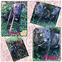 Adopt A Pet :: Gracie-bonded w/Ginger - Fort Wayne, IN