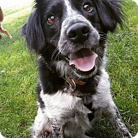 Spaniel (Unknown Type)/Australian Cattle Dog Mix Dog for adoption in Wyoming, Michigan - Dennis - on a 30 day trial