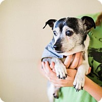 Rat Terrier Dog for adoption in Chino Hills, California - Jet - Claremont