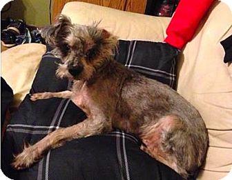 Miniature Schnauzer Dog for adoption in Mission, Kansas - Rusty