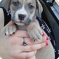Adopt A Pet :: Ivy - Denver, CO