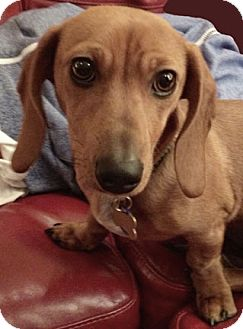 Dachshund Puppy for adoption in San Jose, California - Cricket