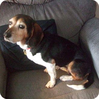 Beagle Dog for adoption in Novi, Michigan - Sissy