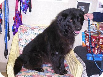 "Collie/Labrador Retriever Mix Dog for adoption in New Castle, Pennsylvania - "" Chewie """