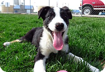 Border Collie Mix Puppy for adoption in Meridian, Idaho - Hallie