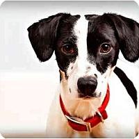 Adopt A Pet :: Spot - Owensboro, KY