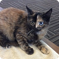 Adopt A Pet :: Mini Meatball - Acme, PA