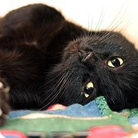 Adopt A Pet :: BRANDY - Royal Oak, MI