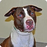 Pit Bull Terrier Mix Dog for adoption in Port Washington, New York - Bobble