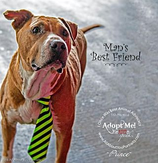 American Staffordshire Terrier Mix Dog for adoption in Cedar Creek, Texas - Prince Charming