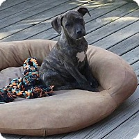 Adopt A Pet :: Yoda - Eastpointe, MI