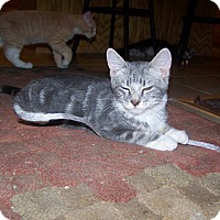 Domestic Shorthair Kitten for adoption in Fallon, Nevada - Stanley