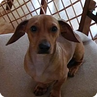 Adopt A Pet :: Preston in MI - Columbia, TN