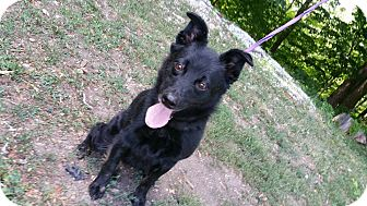 Schipperke/Labrador Retriever Mix Dog for adoption in Marion, Indiana - Kaylee, small fry