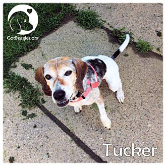 Beagle Mix Dog for adoption in Novi, Michigan - Tucker