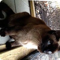Adopt A Pet :: Mr. Muffin - Milton, MA