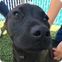 Adopt A Pet :: Primrose - Chula Vista, CA