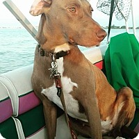 Weimaraner Mix Dog for adoption in WESTMINSTER, Maryland - Sadie