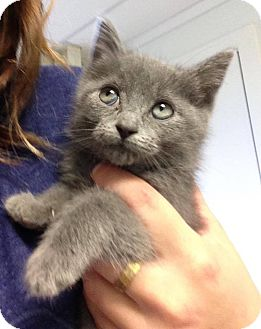 Domestic Shorthair Kitten for adoption in Hendersonville, North Carolina - Ridley