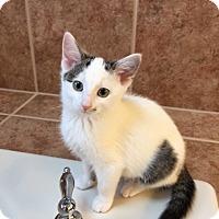 Domestic Shorthair Kitten for adoption in Maywood, Illinois - Baez