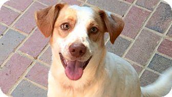 Hound (Unknown Type) Mix Dog for adoption in Burlington, North Carolina - Griffin