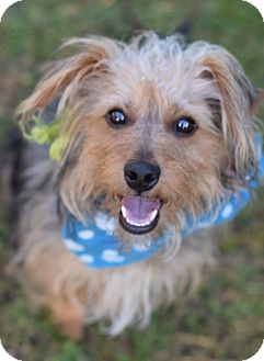 Yorkie, Yorkshire Terrier/Australian Terrier Mix Dog for adoption in Denver, Colorado - Harry **ADOPTION PENDING**